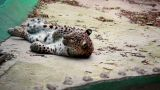 Leopard Taking A Rest stock footage