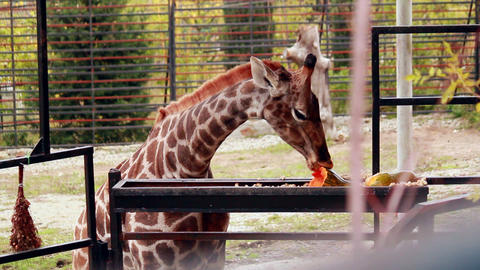 Giraffe eating pumpkin Stock Video Footage