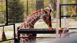 Giraffe Eating Pumpkin stock footage