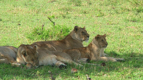 Lions Stock Video Footage