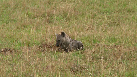 Spotted hyena Footage
