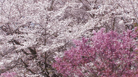 Cherry blossoms,in Showa Kinen Park,Tokyo,Japan_2 Stock Video Footage