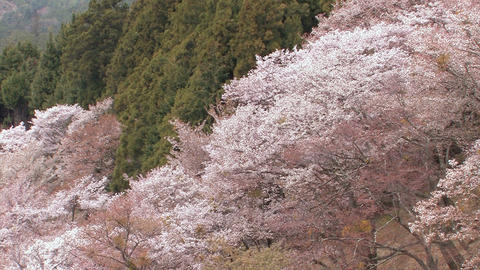 Spring landscape in Mt.Yoshino,Nara,Japan_4 Stock Video Footage