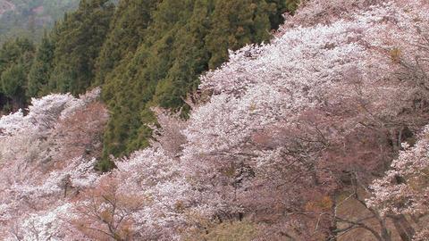 Spring landscape in Mt.Yoshino,Nara,Japan_4 Stock Video Footage
