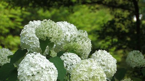 Flowers of Hydrangea in Showa Kinen Park,Tokyo,Japan Stock Video Footage