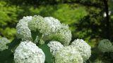 Flowers of Hydrangea in Showa Kinen Park,Tokyo,Japan Footage