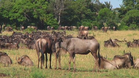 Wildebeest migraton Stock Video Footage