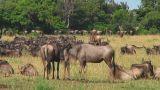 Wildebeest migraton Footage