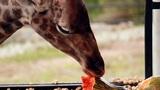 Giraffe eating pumpkin Footage