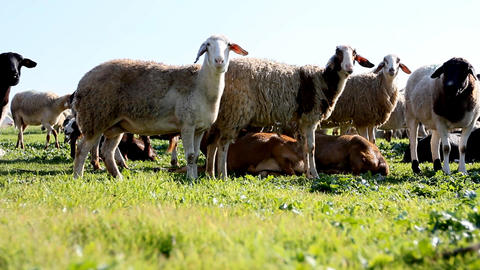 Sheep Shep lamb farm farming countryside ecology grass... Stock Video Footage