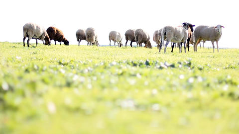 Sheep Shep lamb farm farming countryside ecology grass agriculture animals Live Action