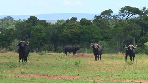 Cape buffalo Stock Video Footage