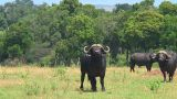 Cape buffalo Footage