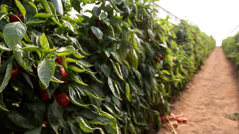 organic plants greenhouse food agriculture red sweet pepper Stock Video Footage
