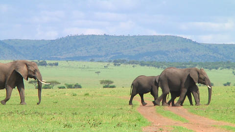 Elephants Stock Video Footage