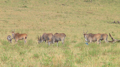 Eland Stock Video Footage
