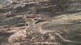 Klipspringer Footage