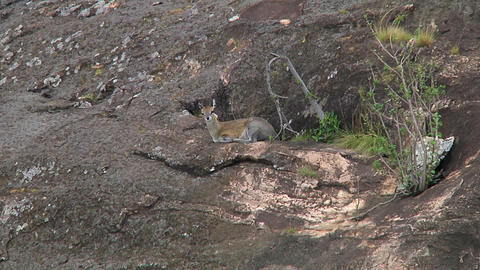 Klipspringer Stock Video Footage