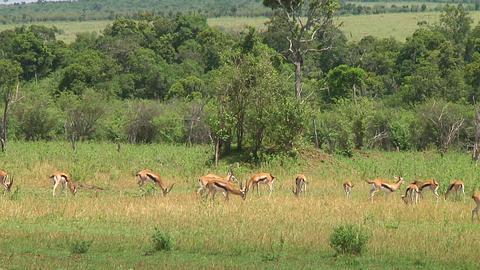 Thomson\'s gazelle Stock Video Footage