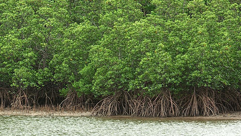 Forest of the Mangrove in Iriomote island,Okinawa,Japan Stock Video Footage