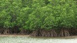 Forest of the Mangrove in Iriomote island,Okinawa,Japan Footage