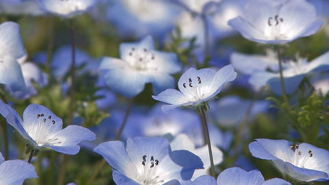 Flowers of Baby Blue Eyes and a Honeybee in Showa Kinen... Stock Video Footage