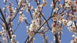 Flowers of a Plum in Tsukigase,Nara,Japan Footage