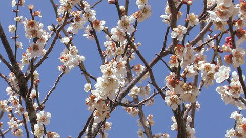 Flowers of a Plum in Tsukigase,Nara,Japan Stock Video Footage