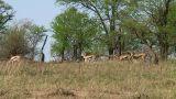 Thomson\'s gazelle Footage