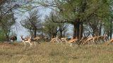 Thomson\\\'s gazelle Footage