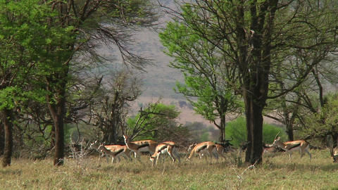 Thomson\'s gazelle Stock Video Footage