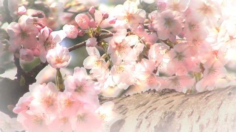 sakura up Stock Video Footage