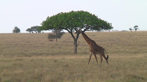 Giraffe Live Action