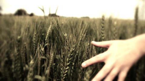 Hand running through wheat field Freedom hand green... Stock Video Footage