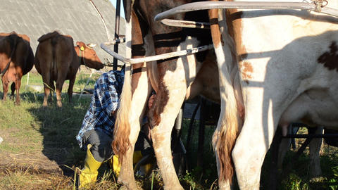milker farmer man milk cow with milking machine and take it off Live Action