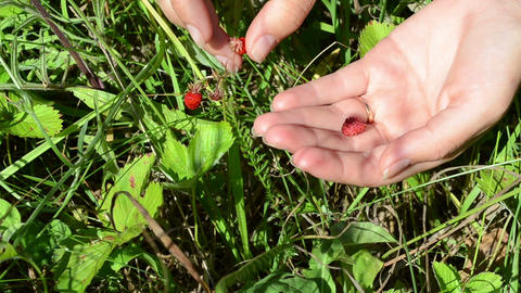 Closeup of woman girl hand gather pick wild strawberry in meadow Footage
