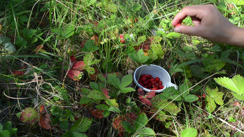 girl hands gather pick wild strawberry to plastic cup Footage