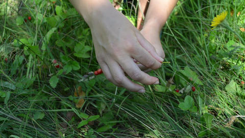 woman hands gather wild strawberry and swing on bent grass Footage