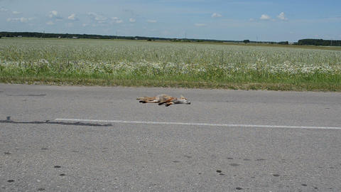 Automobile killed dead fox animal lay on road and car drive pass Footage