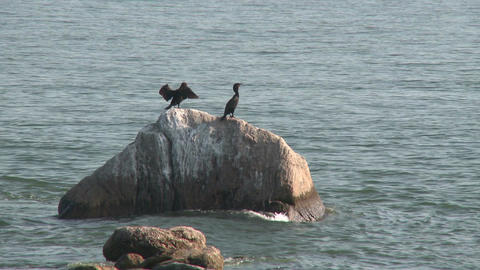 Seabirds clinging to a rock (1 of 1) Footage