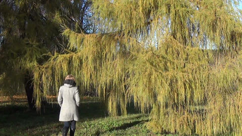 Girl Walks In Park The Majestic Larch Hide Among The Branches stock footage