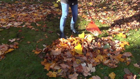 worker raking autumn dry tulip tree leaves in garden Footage
