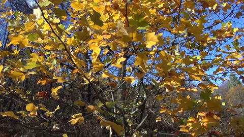 autumn tree leaves on sky and pile of raked leaves in garden Footage
