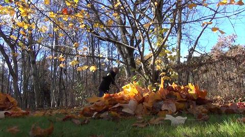 pile of dry tulip tree leaves beyond to the tree girl raking Footage