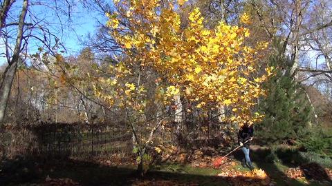 gardener rake leaves into piles next to tree autumn work Footage