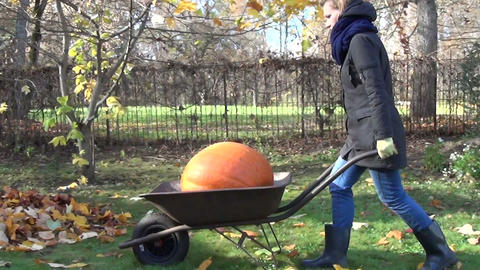 gardener woman carry orange pumpkin barrow through garden yard Footage
