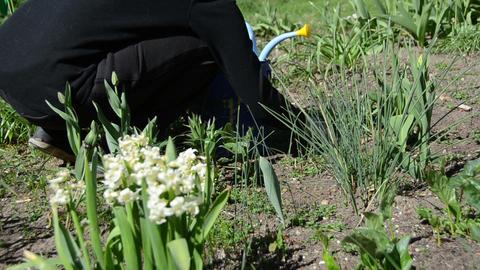 gardener weeding flower beds in spring garden Live Action