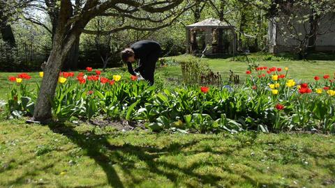 Bend gardener woman weeding flower bed in spring Live Action
