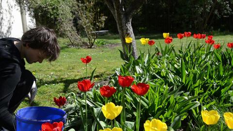 Tilt up of gardener girl work between tulip flower beds Live Action