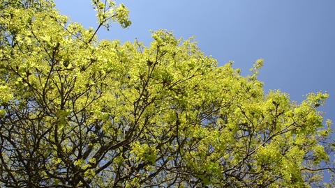 Maple deciduous tree leaf buds and blooms on blue sky in spring Footage